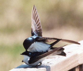 Tree swallow copulation